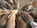 ウサギがピラニアのようになる映像
