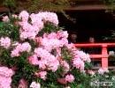 シャクナゲ見ごろ 武雄市の高野寺