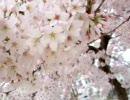 2009年春のソメイヨシノ【a】