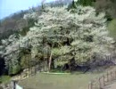 兵庫最古の桜 樽見の大桜に行ってみた