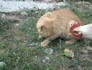 捕まえたネズミをニワトリに盗られる猫。