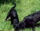 黒犬二頭が地リスを捕獲、飼い主の命令は無視ww