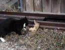 猫、リスを襲う。リス危うし。