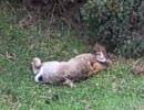 オコジョさん、華麗にウサギを狩る