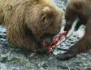 クマの親子が鮭を獲る