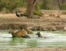 ジャッカル夫妻のシカ狩り