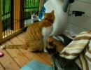 子猫、先住猫チャオと遭遇する。~福岡、