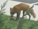キツネがプレーリードッグを食べてるよ