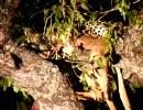 ヒョウが木の上でインパラを食べている