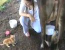 牛のおっぱいをダイレクトで飲むぬこ