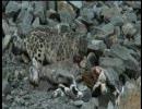 ユキヒョウ、ヤギを狩る