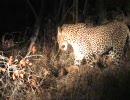 ヒョウ、狩りの夜