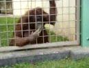 草を食べるオランウータン
