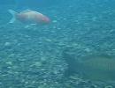 和歌山県 熊野川の鯉と鮎