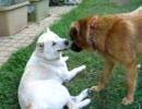 犬レスリング