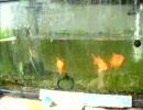 金魚にキャットフードあげたらすごい食べたよ!