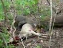 コモドオオトカゲ、鹿をウマウマ