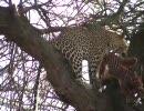 ヒョウが悠々と木の上で食事