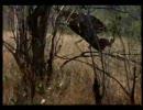 ヒョウがインパラを空中大回転キャッチ