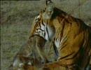 トラ、サルを狩る