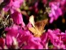 キクキンウワバ(蛾)を撮ってみた