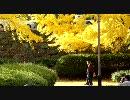 第71位:【リトルカブ車載動画】カブで大銀杏を見に行った【スーパーカブ】