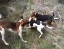 猟犬でアライグマ狩り