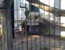 【円山動物園】ユキヒョウのこどものおいかけっこ【北海道】