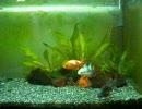 家の金魚さん四匹