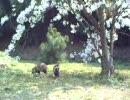 狸と桜 春の旅行鞆の浦仙酔島にて