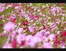 秋桜 インディーズ