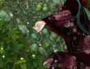 【初音ミク】散ってしまえよ桜の如く【オリジナル和ポップ】