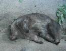 ウォンバットさんが睡眠中です。